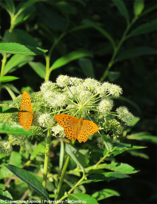 Бабочка у реки Гремихи. Фото Карпова С.О.